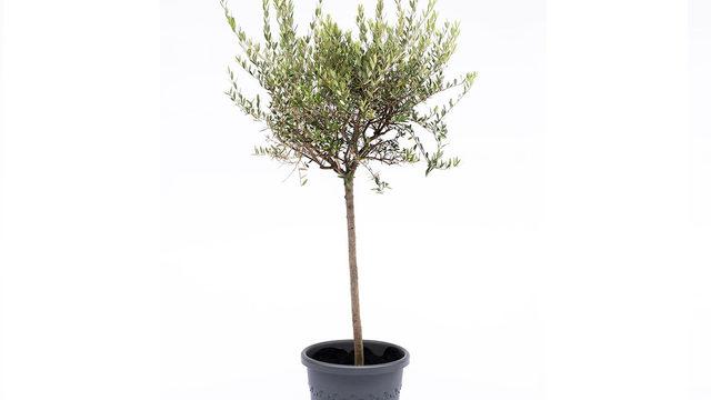 Amadrinamiento de un olivo