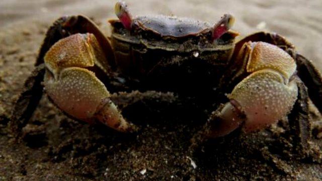 BERBEROKA: Ahoga con una manguera de agua a sus presas y luego se las traga . Aun con todos sus poderes, tienen miedo a los cangrejos.