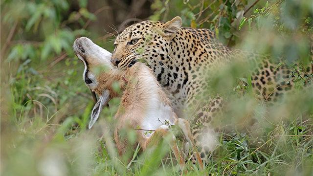 Mecenas Leopardo