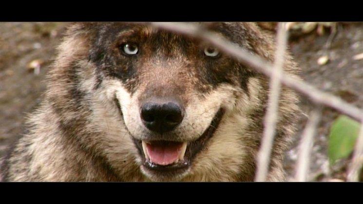 Avance Los Ojos Del Lobo Los Ojos Del Lobo