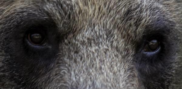 Mirada de oso cantábrico