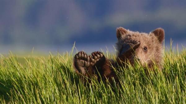 Cría de oso grizzly