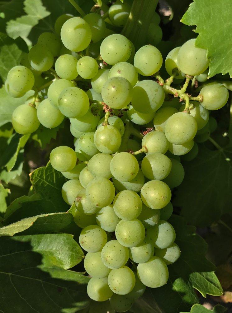 Las uvas de la pasión
