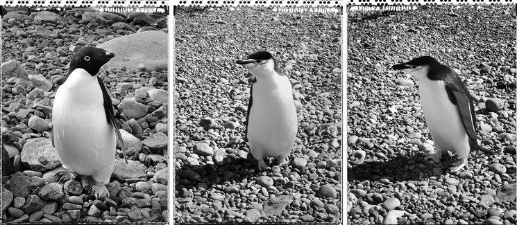Izd: Pingüino Sputnik<br/> Centro: Pingüino Islero<br/> Der: Pingüino Julio Iglesias