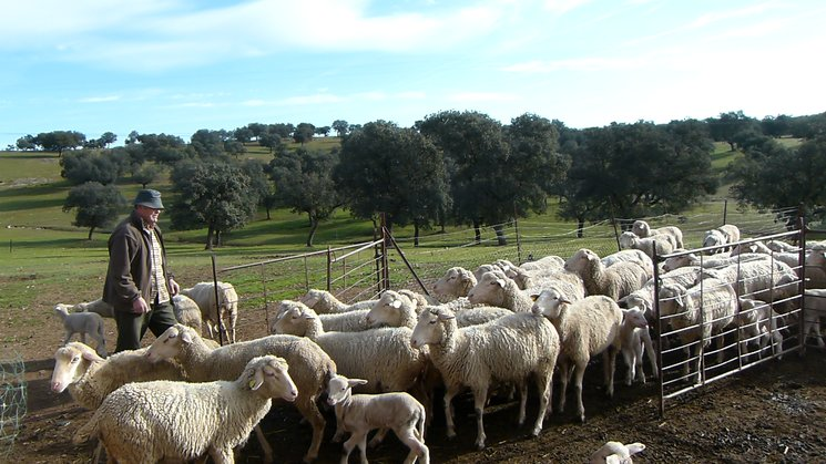 Leocadio encerrando sus ovejas al atardecer.