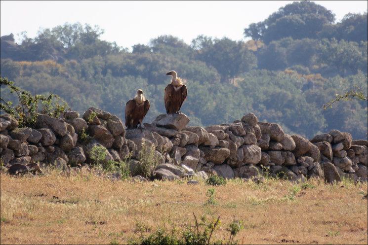Buitres leonados en Campo Azálvaro. Foto Mario Gómez Esteban