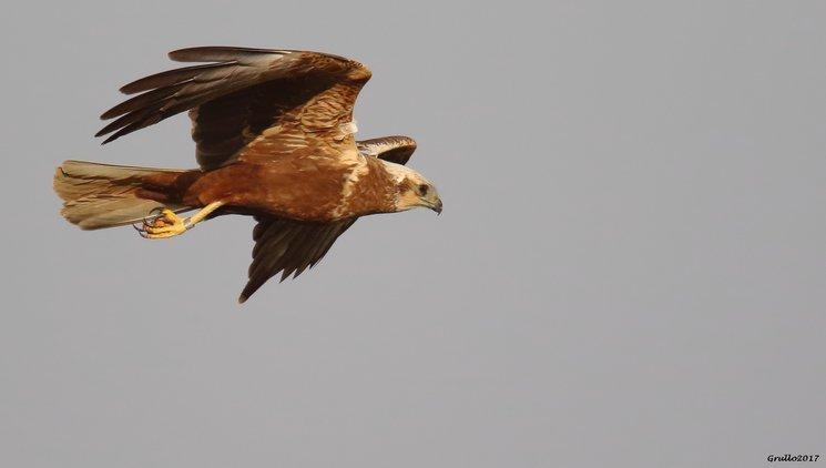 Aguilucho lagunero en vuelo. Autor: Gonzalo Criado