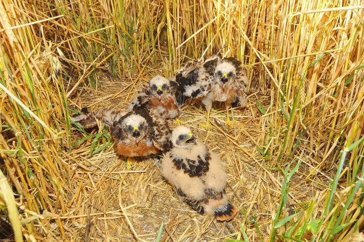 Pollos de Aguilucho cenizo en el nido