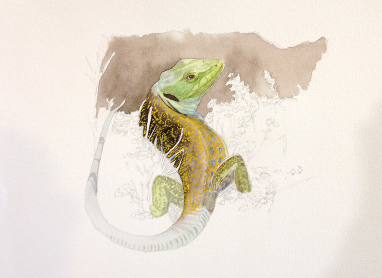 Lagarto arnal (ilustración de José Arcas)