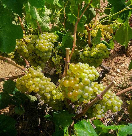 Grape strain Macabeu