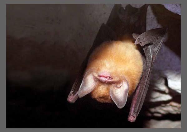 Murciélago oreja de Embudo Grande CUBAN GREATER FUNNEL-EARED BAT