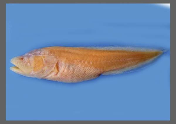 PEZ CIEGO / CAVE-FISH
