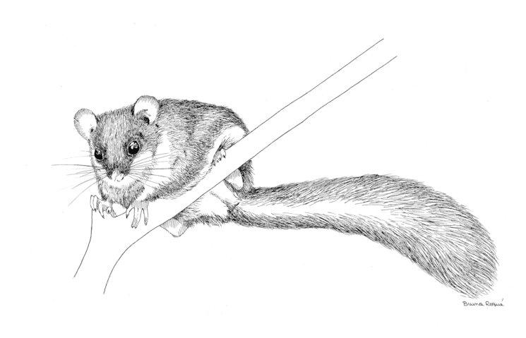 El liró gris (Glis glis) és un mamífer molt desconegut que viu als boscos madurs