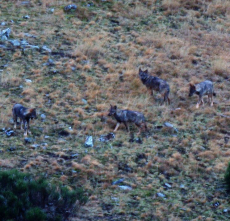 Lobos ibéricos (Canis lupus) en libertad en el Valle de Lobos.