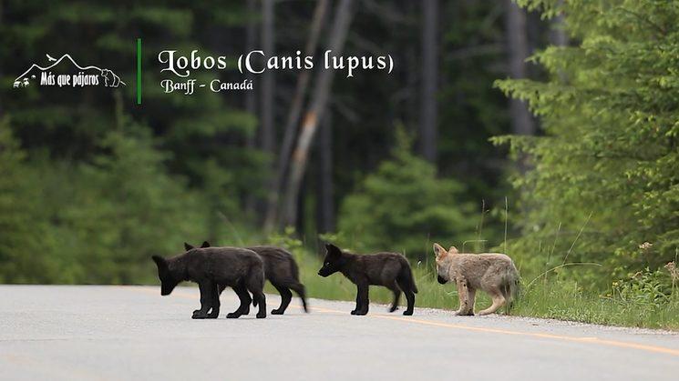 Lobeznos en el Parque Nacional de Banff (Canadá)