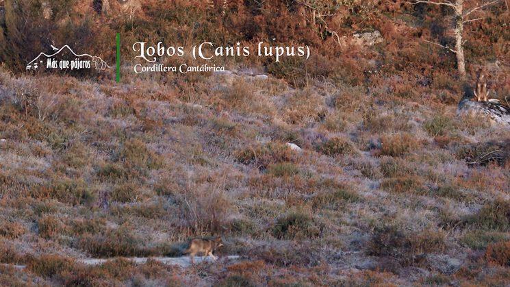 Lobos ibéricos en la montaña cantábrica.