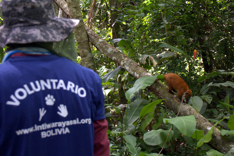 volunteer walking a coati