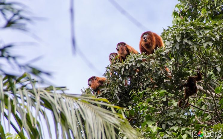 A group of wild howler monkeys on top of a tree