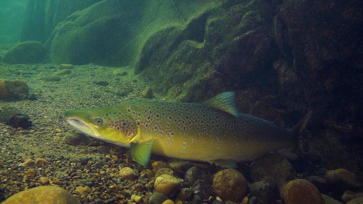 Un macho de salmón espera en el fondo de un pozo antes de reanudar el viaje hacia la zona de desove en la cabecera del río