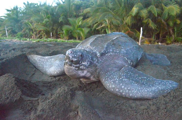 Hembra nidificante de tortuga laúd