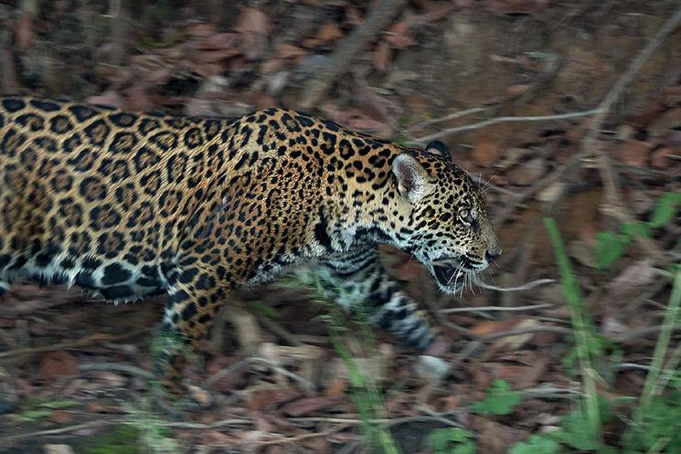 Jaguar en Mato Grosso, Brasil