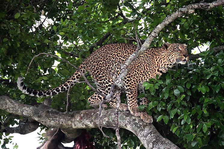 Leopardo en Masai Mara, Kenya