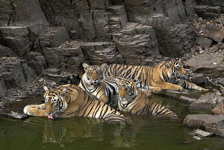 Tigresa con cachorros en Ramthanbore, India
