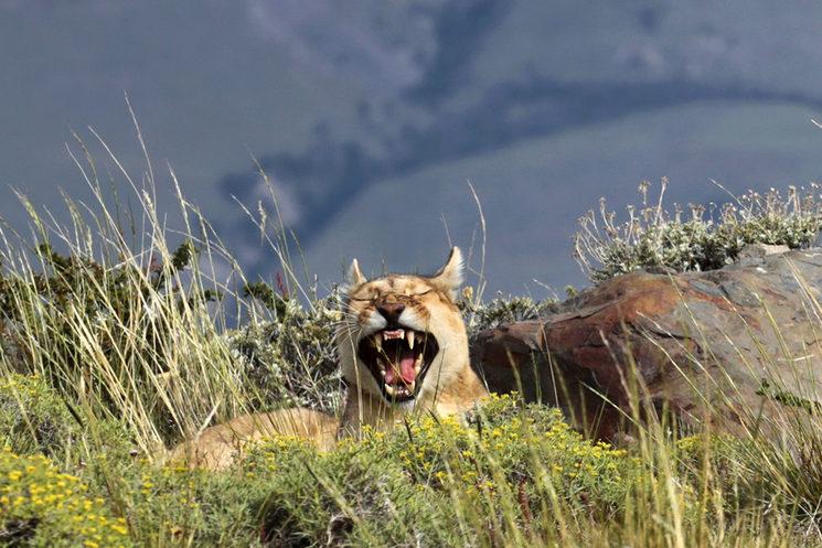 Puma en Patagonia, Chile
