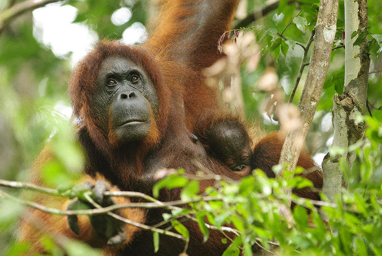 An orangutan mother with her baby in an unaltered forest of Borneo