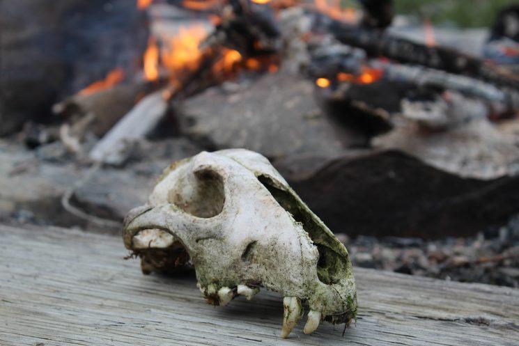 Cráneo de glotón