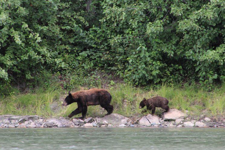 Dos osos pardos en camino.