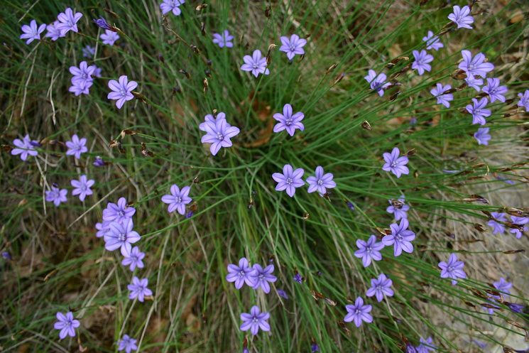Aphyllanthes monspeliensis L. (Junça)