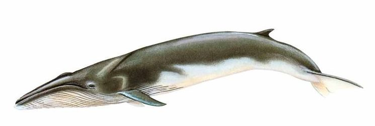 Illustration of a fin whale