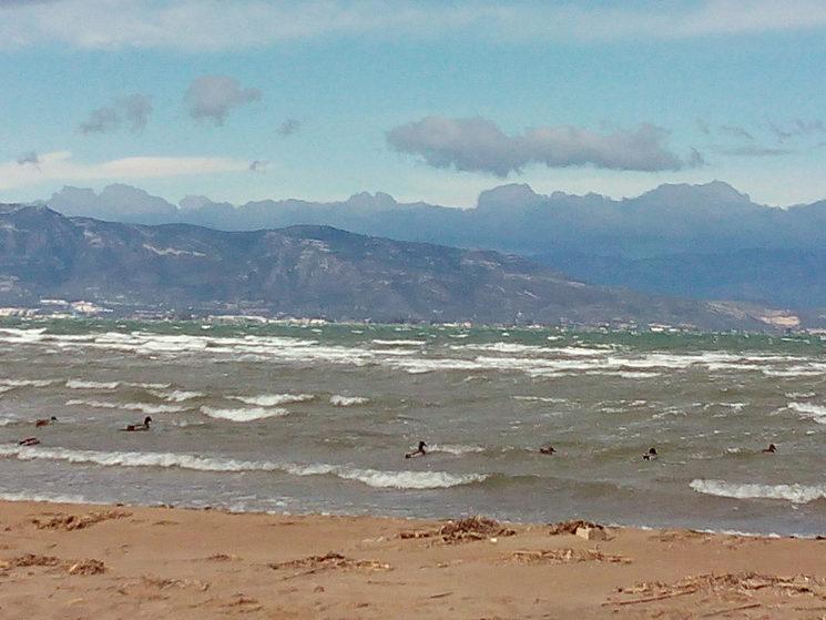 Ànecs de Coll-Verd a la platja de la Punta del Fangar