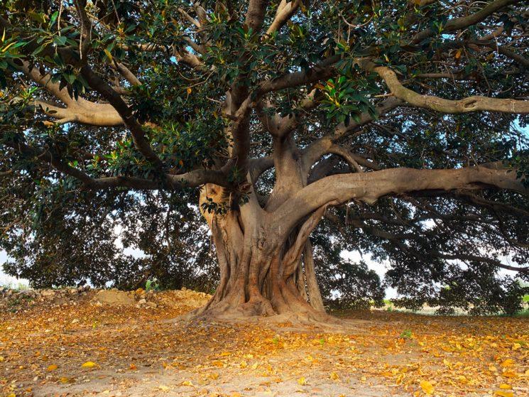 Ficus centenario de los Mazones (Almoradí)