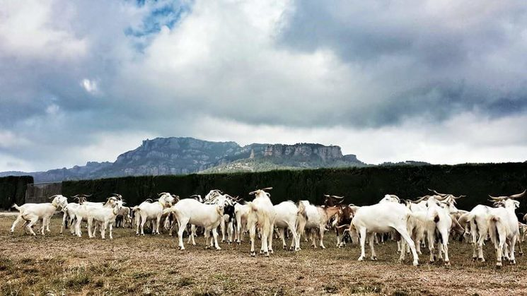 El primer ramat de cabres