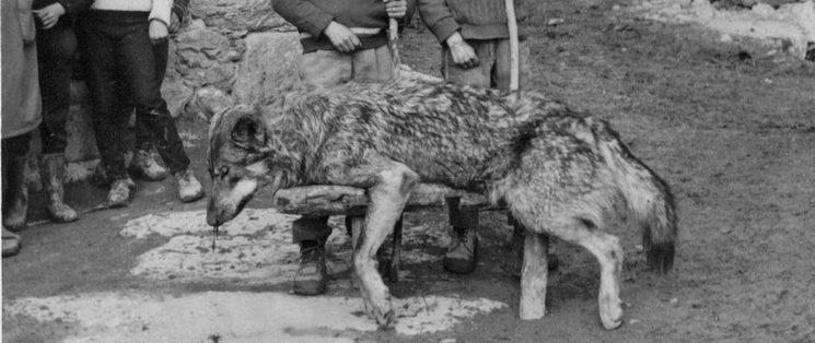 Lobo abatido en Viñas de Aliste en 1970. Cortesía de Santiago Pérez