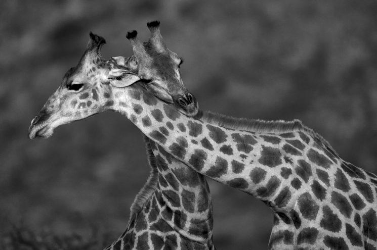 El Círculo Eterno. Jirafas emocionadas, Namibia