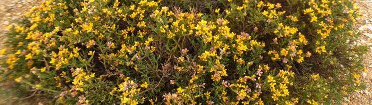 Carqueisa en plena floración. Flechas. Sierra de la Culebra.