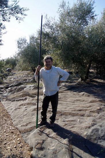 José Rafael en la recogida de la aceituna
