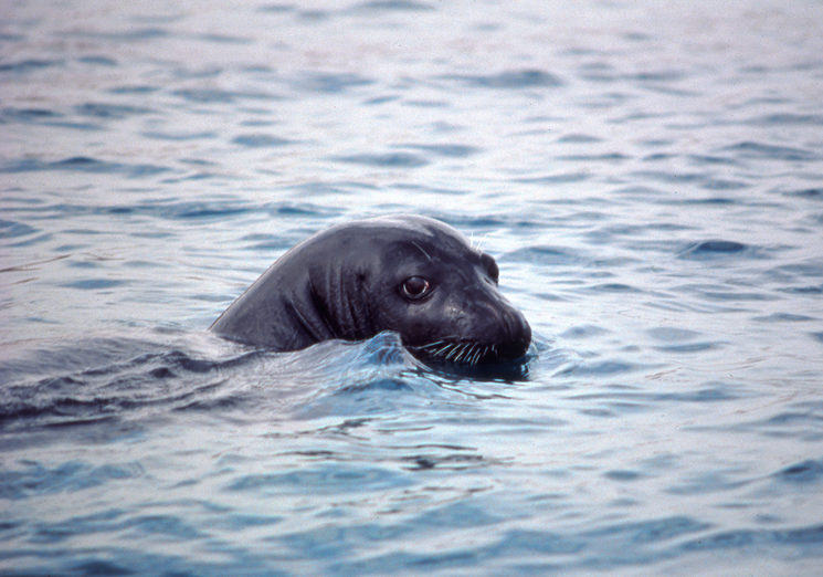 Mediterranean monk seal male in north Marocco (1991). Currently this population is extinct (Photo: Xisco Avellá)