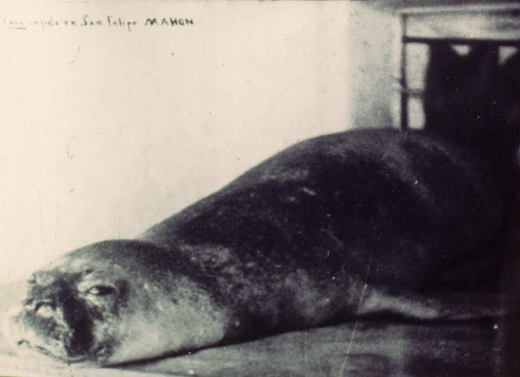 Monk seal killed in Mallorca, 1929.