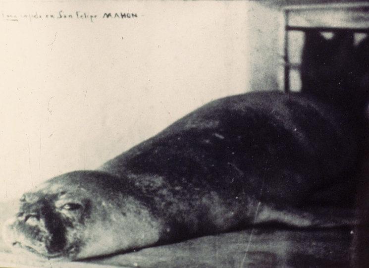 Monk seal killed in Mallorca, 1929.