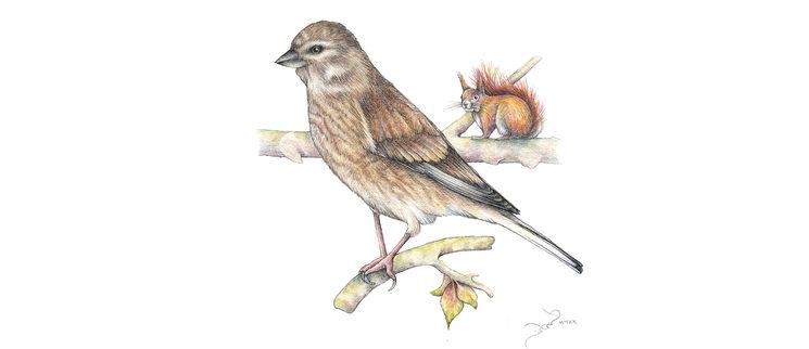 Hembra de pardillo común para una ficha de Pájaros II