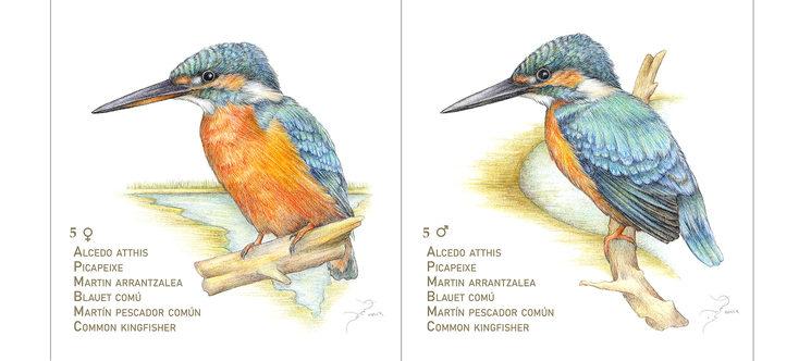 Pareja de martín pescador. La hembra se diferencia del macho en que tiene la parte inferior del pico anaranjada.