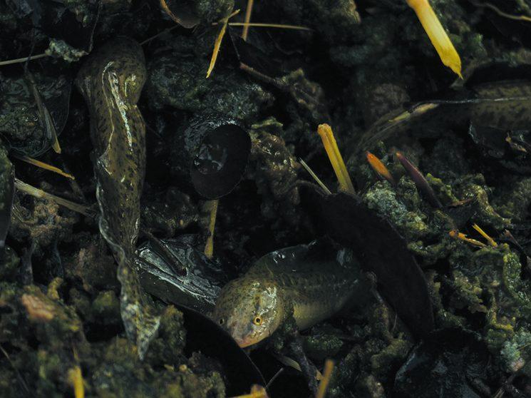 Rescate de larvas de gallipato