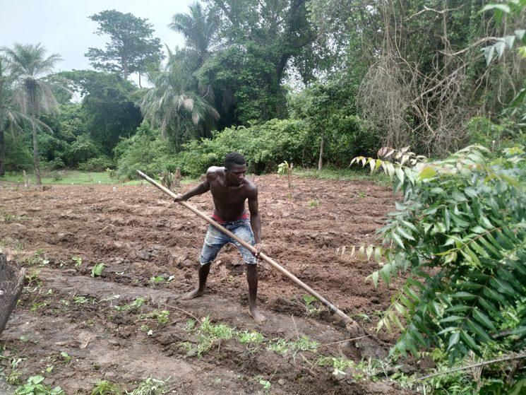 Preparando la tierra para la siembra del arroz