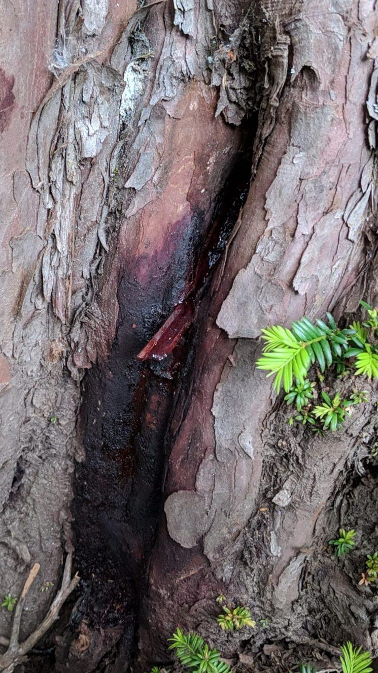 Sangrado de tejo hembra y brote desarrollado